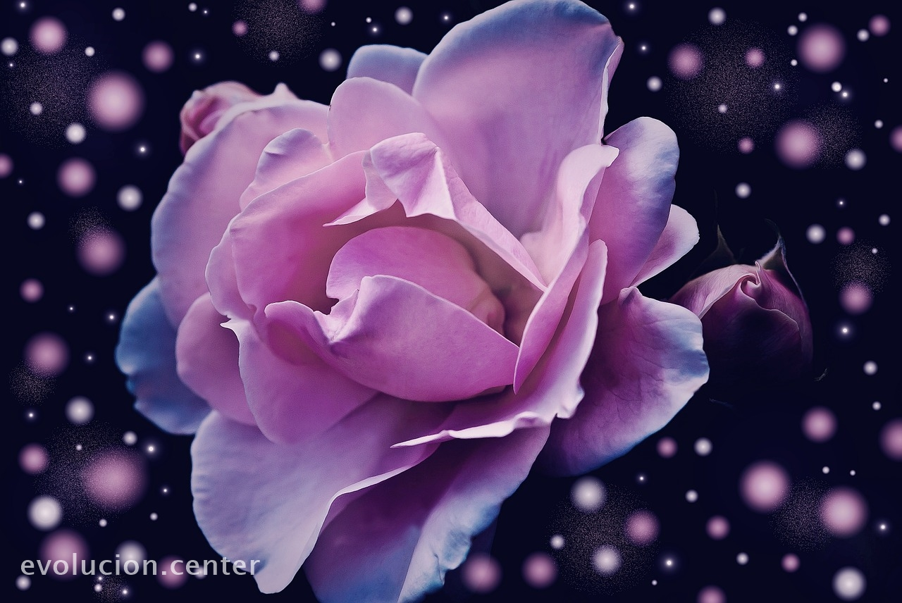 Haz la magia de la rosa